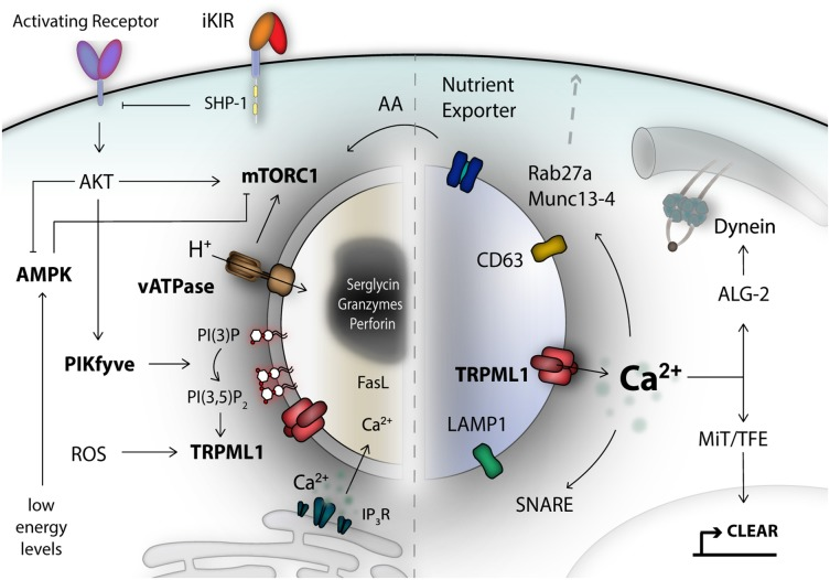 TRP Channels as Interior Designers: Remodeling the Endolysosomal Compartment in Natural Killer Cells.